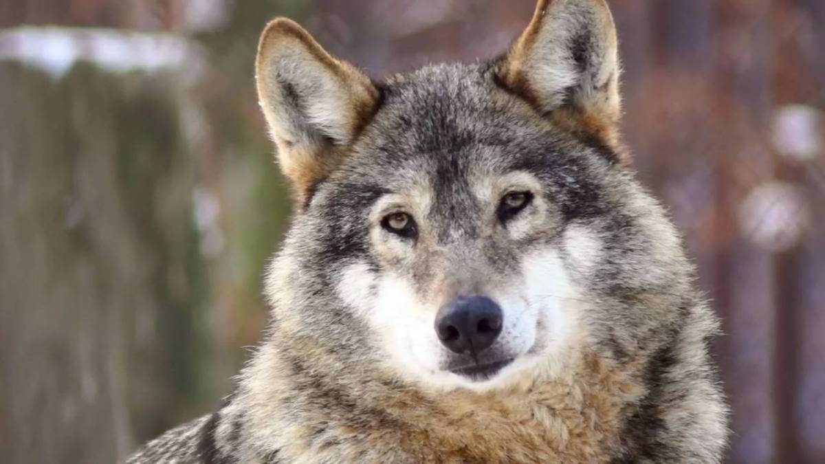 Wolf Referat